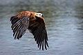 Busarellus nigricollis -Miranda River, Mato Grosso do Sul, Brazil -flying-8 (2).jpg