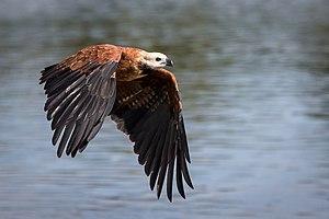 Black-collared hawk - Image: Busarellus nigricollis Miranda River, Mato Grosso do Sul, Brazil flying 8 (2)