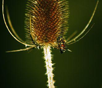 Shrike - A bee presumably caught and impaled by a shrike