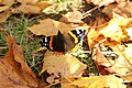 Butterfly Admiral.jpg