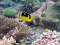 Butterfly fish swim among the coral.jpg