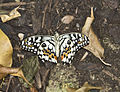 Butterfly on the ground (5474661462).jpg