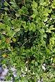 Buxus x Green Mound 1zz.jpg