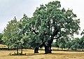 Cáceres, árboles 1975 11.jpg