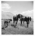 CH-NB - Persien, Elburs-Gebirge (Elburz)- Pferde - Annemarie Schwarzenbach - SLA-Schwarzenbach-A-5-06-180.jpg