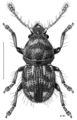 COLE Anthribidae 1 m.png