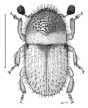 COLE Curculionidae Cryphalus wapleri.png