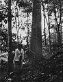 COLLECTIE TROPENMUSEUM Een Indonesische vrouw tapt middels een ingkerft gootje een rubberboom af TMnr 60021620.jpg