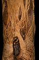 CSIRO ScienceImage 1156 The Markings by the Longicorn Beetle.jpg