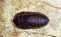 CSIRO ScienceImage 194 The Native Flat Cockroach Laxta friedmani.jpg