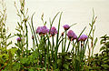 CSIRO ScienceImage 3093 Chives in flower.jpg