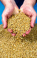 CSIRO ScienceImage 4029 Wheat grains from harvest in the mid north of South Australia 1992.jpg