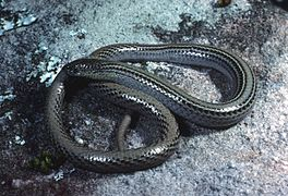 CSIRO ScienceImage 6661 Striped legless lizard.jpg