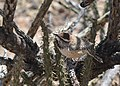 Cactus Wren (33535971710).jpg