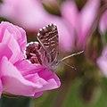 Cacyreus Marshalli - Brun des pelargoniums.jpg