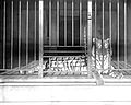 Caged tiger at the Los Angeles Zoo, ca.1920 (CHS-9748).jpg