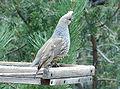 Callipepla squamata Santa Fe 3.jpg