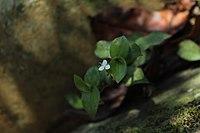 Callisia gracilis.2.jpg