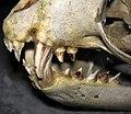 Callorhinus ursinus (northern fur seal) skull 6 (47601929052).jpg