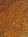 Caloplaca flavovirescens (Wulfen) Dalla Torre & Sarnth 317235.jpg