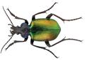 Calosoma sycophanta L. - ZooKeys-245-001-g009 rotated.png