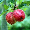 Calvados Apfel 0596.jpg