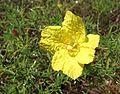 Calylophus drummondii.jpg
