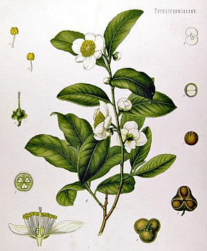 Camellia sinensis - Camellia sinensis plant, with cross-section of the flower (lower left) and seeds (lower right)
