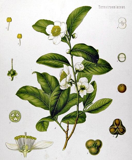 Camellia sinensis - Köhler–s Medizinal-Pflanzen-025