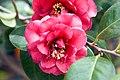 Camellia x April Tryst 1zz.jpg