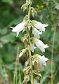 Campanula alliariifolia - White Bellflower - Akçan 3.jpg