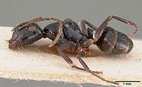 Camponotus leveillei casent0102099 profile 1.jpg