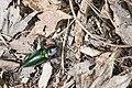 Campsosternus mirabilis (35634543876).jpg