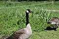 Canada goose - Branta canadensis (41978771181).jpg