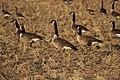 Canada goose - Branta canadensis (44821000082).jpg
