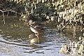 Canards colverts (Anas platyrhynchos) femelle- 6268.jpg