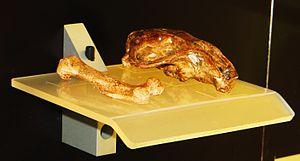 Island gigantism - Image: Canariomys tamarani fossils