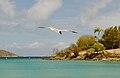 Caneel Bay Seagulls By Caneel Beach 10.jpg