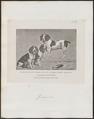 Canis lupus familiaris - 1700-1880 - Print - Iconographia Zoologica - Special Collections University of Amsterdam - UBA01 IZ22200226.tif