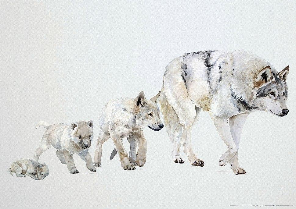Canis lupus occidentalis (Etapas de crecimiento) - Miren Leyzaola