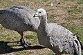 Cape Barren goose 5.jpg
