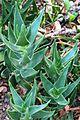 Cape Town rambling aloe rosettes Aloe commixta.jpg