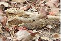 Caprimulgus climacurus -Gambia-8 (4).jpg