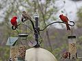 Cardinal, Tanager, Finchs.jpg