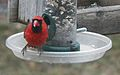 Cardinal 2015-365-18 (16311734591).jpg