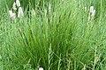 Carex.nigra2.-.lindsey.jpg