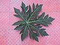 Carica papaya-1-coimbatore-India.jpg
