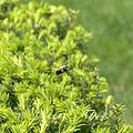 Carpenter bee (3503542068).jpg