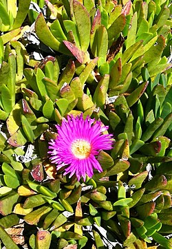 Carpobrotus mellei - Mountain Sourfig -SA.jpg