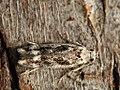 Caryocolum fischerella (39999191285).jpg